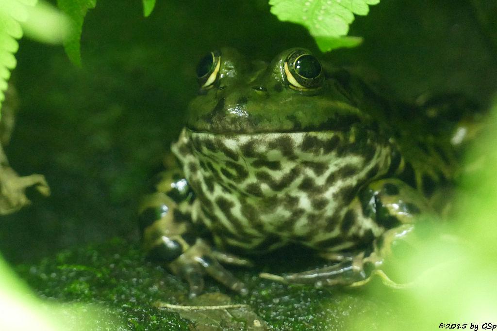 Teichfrosch (Wasserfrosch)