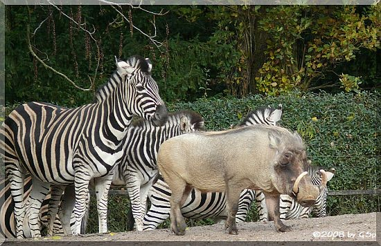 Chapman-Zebra u. Warzenschwein