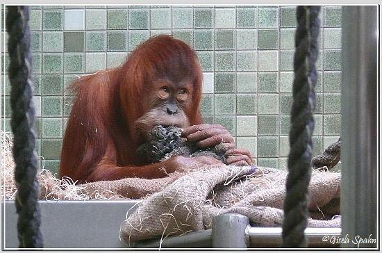 Sumatra-Orang-Utan DJASINGA