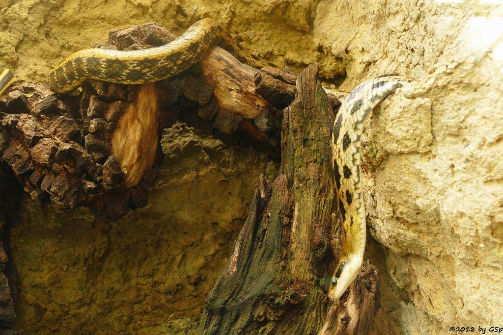 Taiwan-Schönnatter (Streifenschwanznatter)