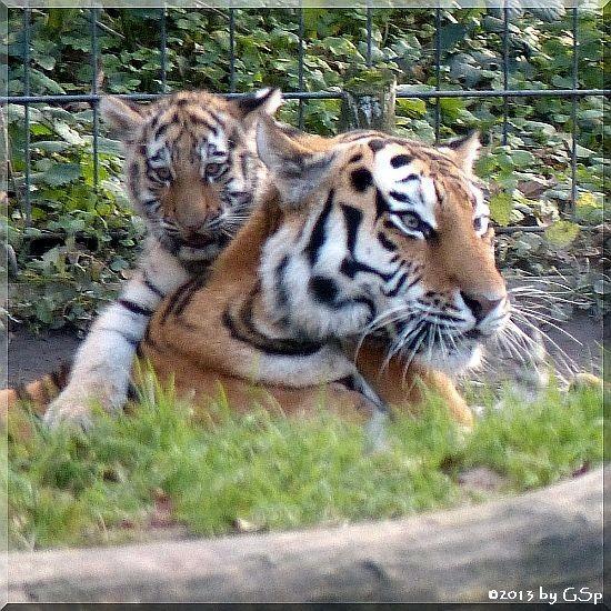 Sibirische Tigerin HANYA mit Sohn TARAS