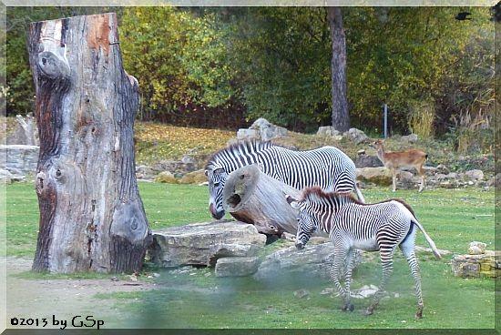 Grévyzebra, Weißnacken-Moorantilope