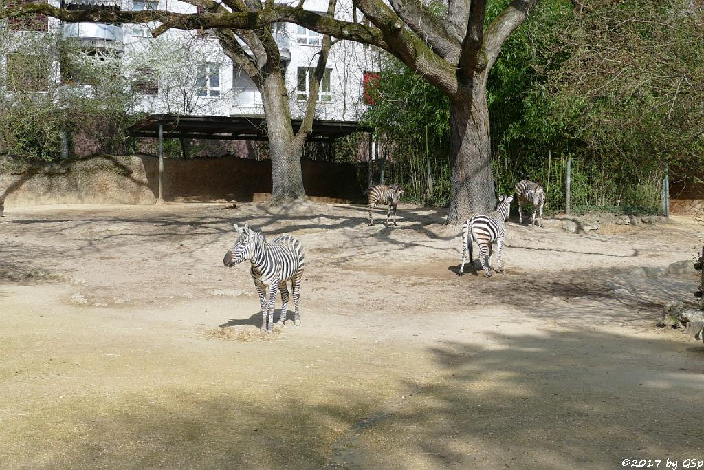 Böhm-Steppenzebra (Granz-Zebra)