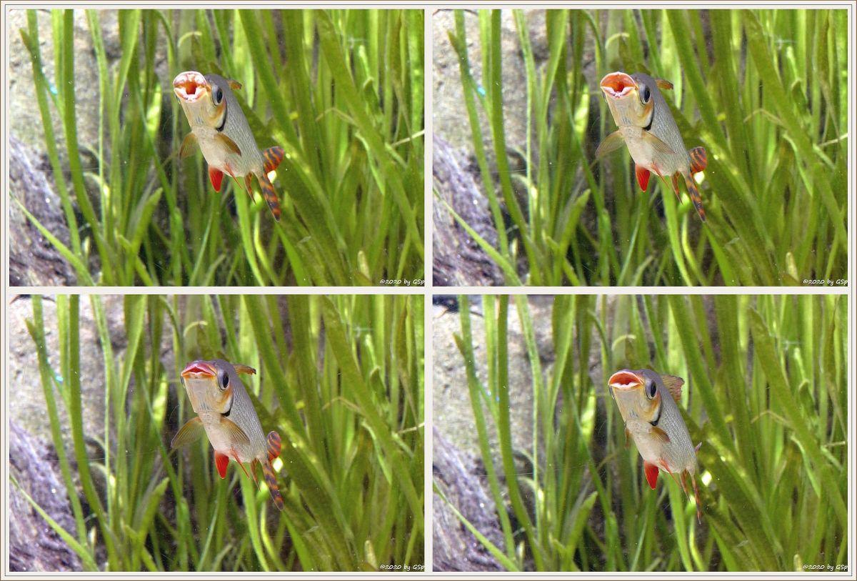 Schwanzstreifensalmler (Schwanzstreifen-Nachtsalmler)