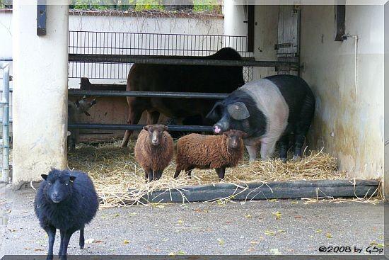 Ouessantschaf und Angler Sattelschwein