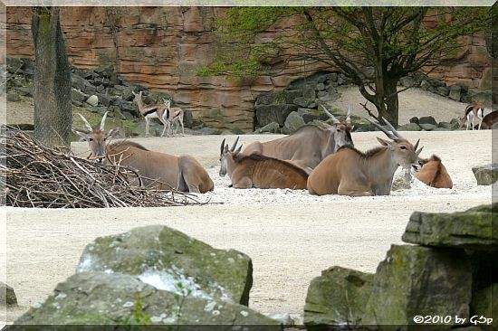 Elenantilope und Thomson-Gazelle