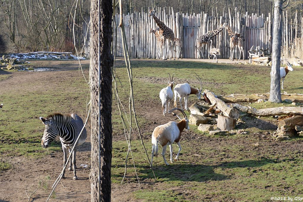 Grévy-Zebra, Säbelantilope, Rothschildgiraffe (Uganda-Giraffe, Baringo-Giraffe), Nordafrikanischer Strauß (Nordafrikanischer Rothalsstrauß)