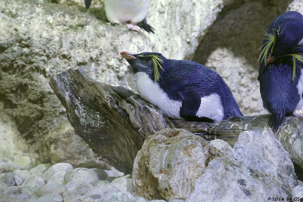 Nordfelsenpinguin (Tristan-da-Cunha-Felsenpinguin, Nördlicher Felsenpinguin)
