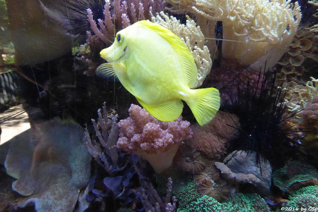 Gelber Segelflossen-Doktorfisch (Zitronenflossen-Doktorfisch)