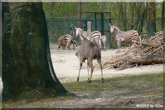 Hartmann-Bergzebra und Großer Kudu