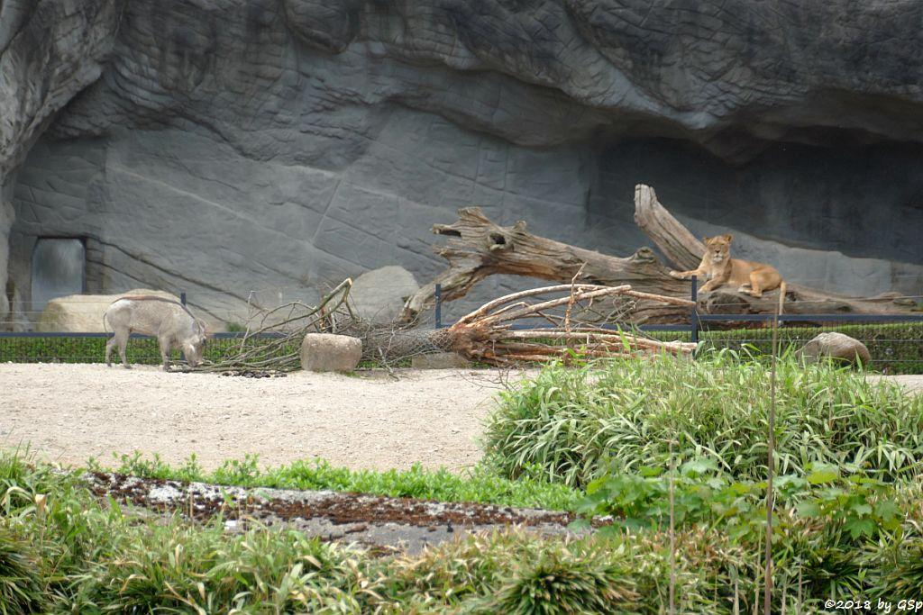 Westafrikanisches Warzenschwein, Afrikanischer Löwe