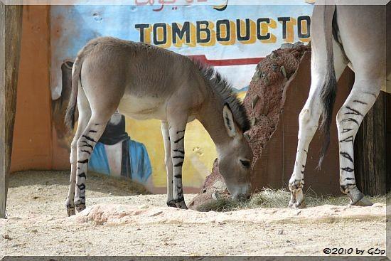 Somali-Wildesel, 5 1/2 Wochen alt