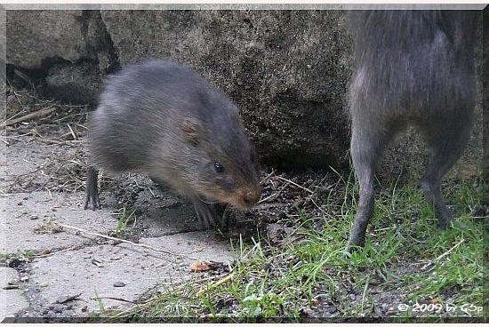 Sumpf-Meerschweinchen