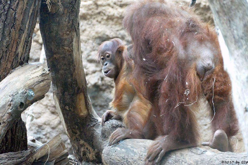 Sumatra-Orang-Utan SAYANG und Mama ROSA