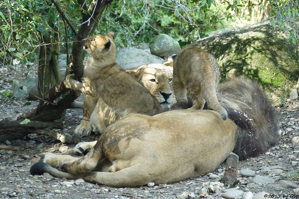 Kalahari-Löwe (Etoscha-Löwe, Wüstenlöwe) mit den Jungtieren NYAOMA und NIKISHA, geb. am 9.1.16 (3 12 Mon. alt)