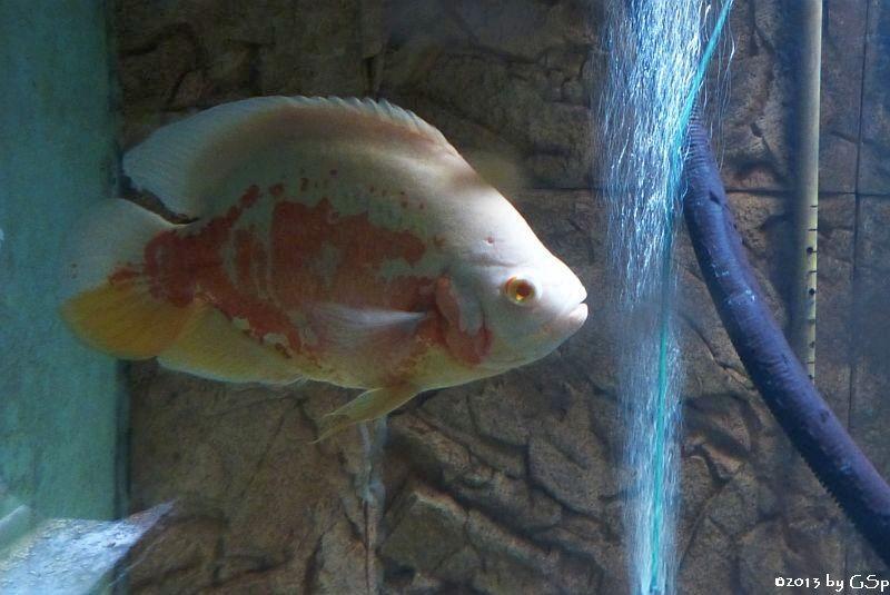 Pfauenaugenbuntbarsch Albino