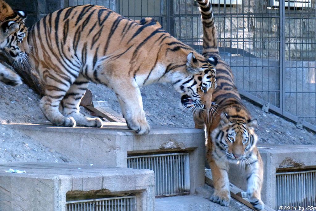 Sibirische Tigerin HANYA mit DIMA und DARJA, geb. am 10.08.13