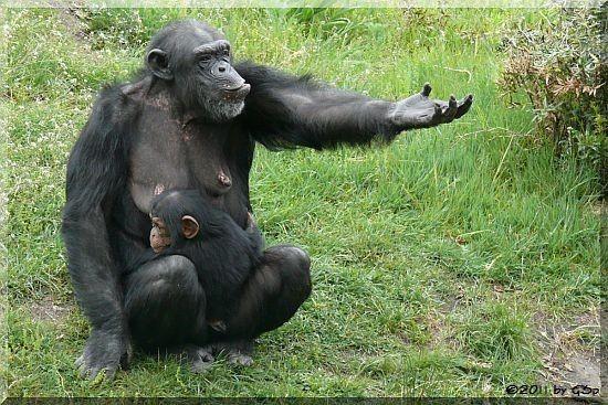 Schimpanse mit Jungtier, geb. 25.5.08