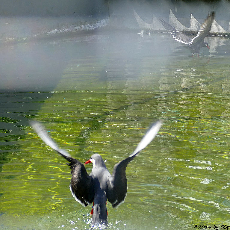 Inka-Seeschwalbe