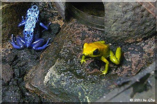 Blauer und Goldener Pfeilgiftfrosch