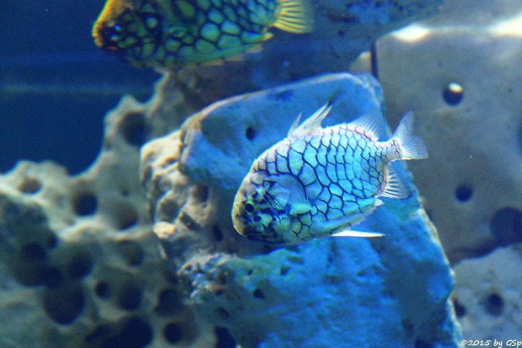 Australischer Tannenzapfenfisch