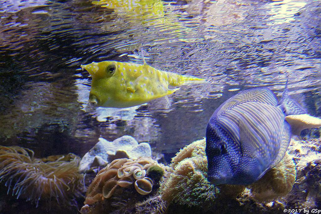 Langhorn-Kofferfisch, Westlicher Segelflossen-Doktorfisch (Desjardins Segeldoktorfisch, Indischer Segelflosser)