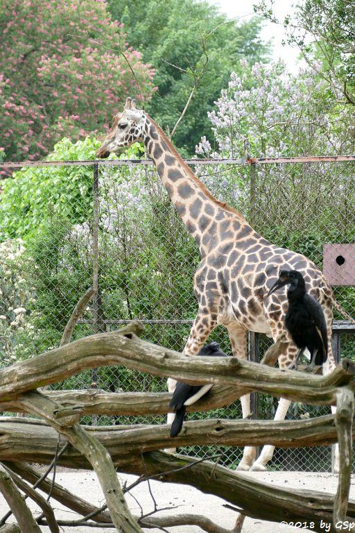 Rothschildgiraffe (Uganda-Giraffe, Baringo-Giraffe), Nördlicher Hornrabe (Sudan-Hornrabe, Abessinischer H.)