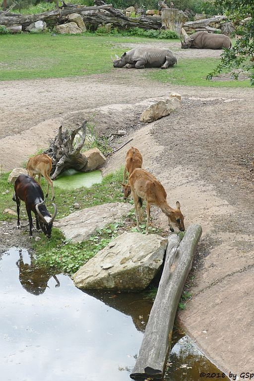 Weißnacken-Moorantilope (Mrs. Grays Wasserbock), Spitzmaulnashorn (Spitzlippennashorn, Doppelnashorn)