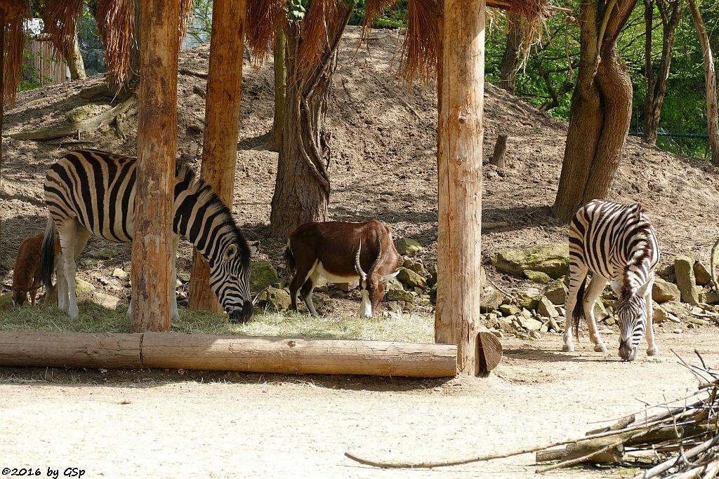 Damara-Zebra, Blessbock