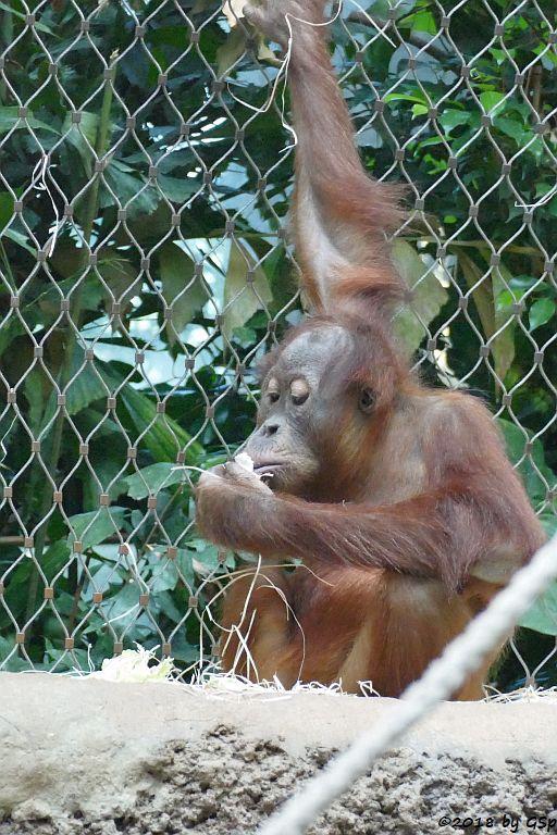 Sumatra-Orang-Utan SAYANG
