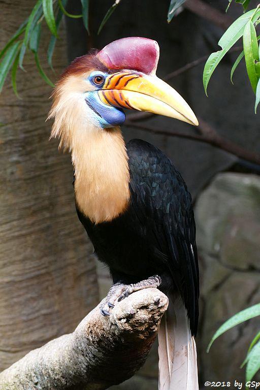Helmhornvogel (Sulawesi-Hornvogel)