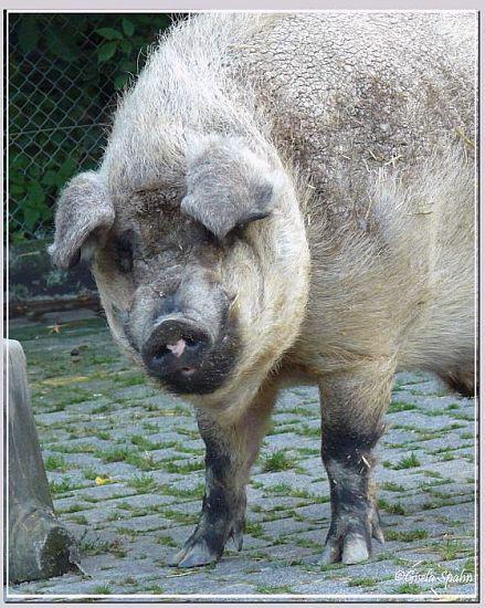 Mangalizaschwein