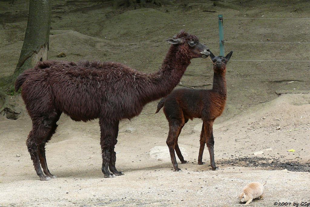 Alpaka und Präriehund