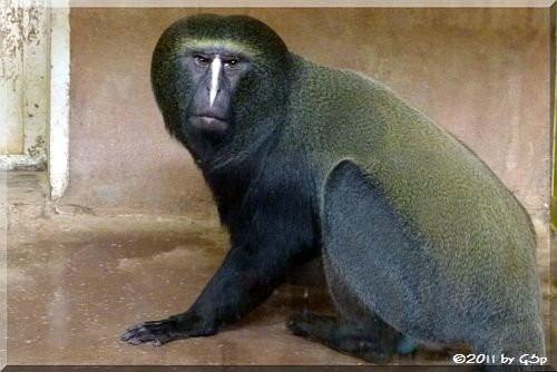 Eulenkopf-Meerkatze