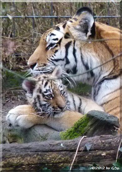 Sibirische Tigerin HANYA mit Sohn JEGOR