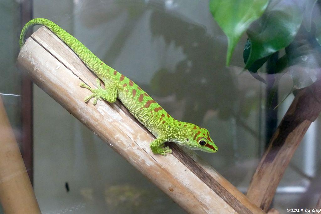 Nachzucht Großer Taggecko (Großer Madagaskar-Taggecko)