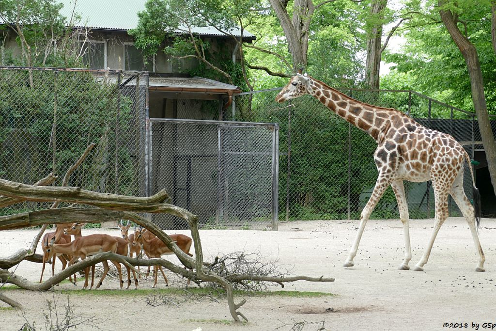 Gewöhnliche Impala (Schwarzfersenantilope, Rothschildgiraffe (Uganda-Giraffe, Baringo-Giraffe)