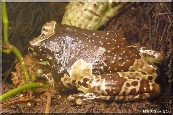 Bahmhöhlen-Krötenlaubfrosch