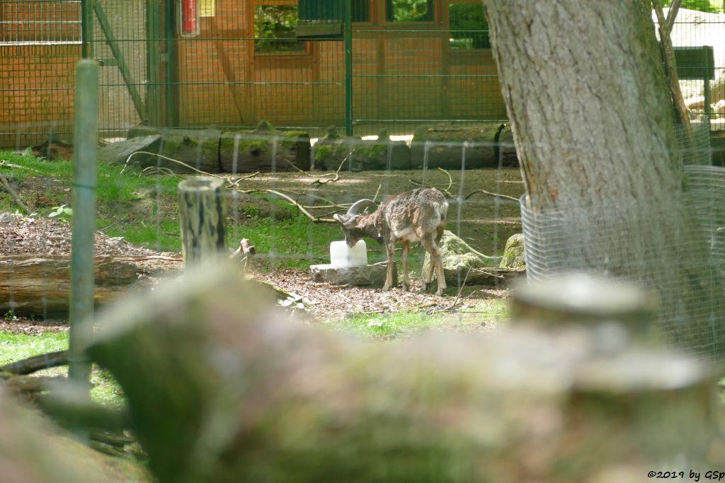 Europäischer Mufflon (Tyrrhenischer Mufflon, Europäisches Wildschaf)