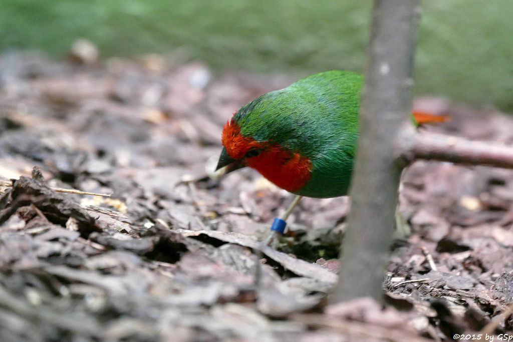 Rotkopf-Papageiamadine