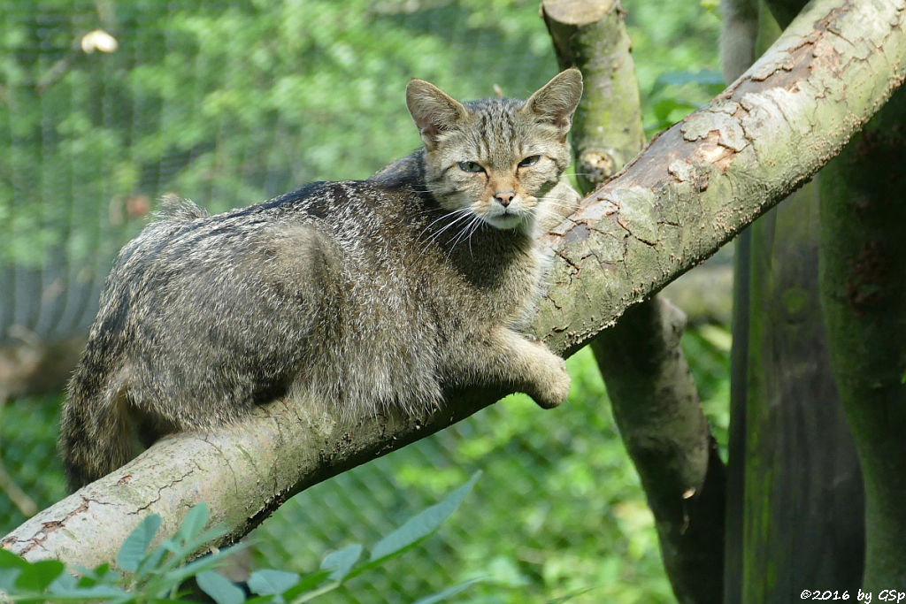 Mitteleuropäische Wildkatze