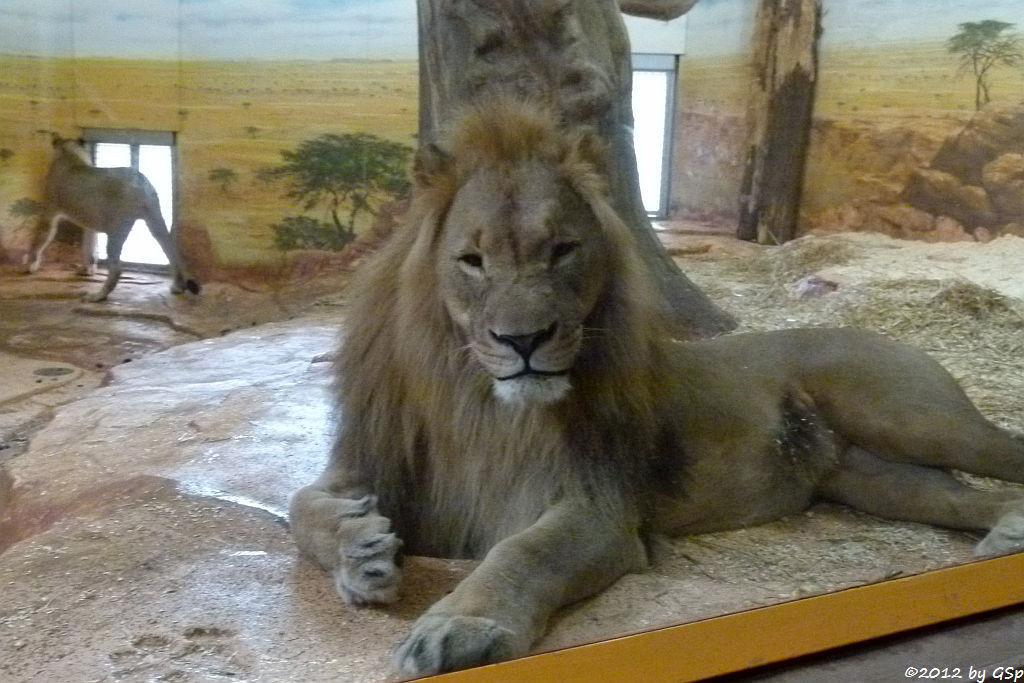 Angola-Löwe  (Katanga-Löwe) NALA und EISI