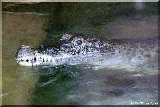 Neuguinea-Krokodil