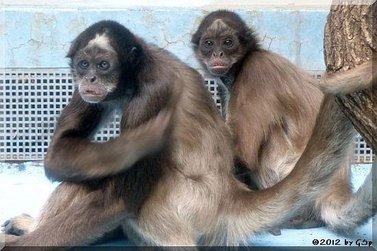 Goldstirnklammeraffe ZAC und OCANA mit ihrem Baby (geb.19.10.12)