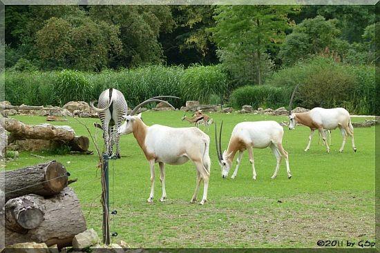 Säbelantilope, Grévy-Zebra, Thomson-Gazelle