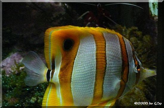 Pinzettfisch, Kupferstreifen-