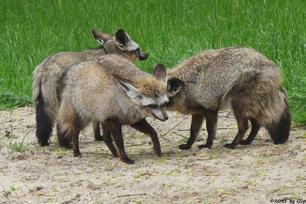 Südafrikanischer Löffelhund
