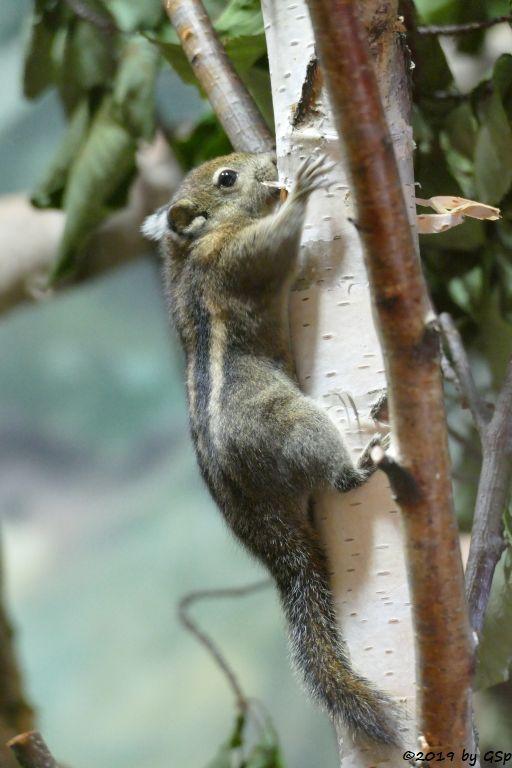 Chinesischen Zwergstreifenhörnchen (Chinesisches Baumhörnchen, Swinhoe-Zwergstreifenhörnchen)