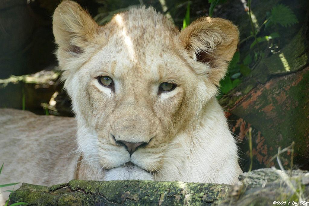 Transvaal-Löwe