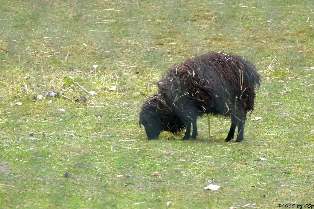 Quessant-Schaf